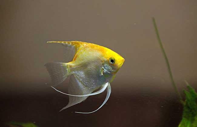 神仙鱼怎么分公母