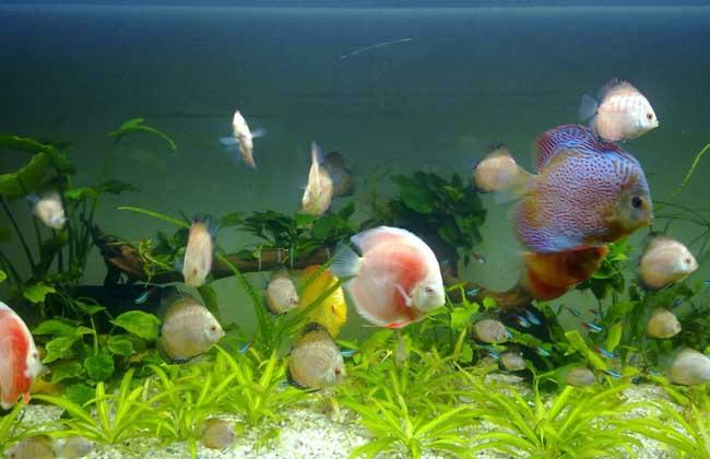 七彩神仙鱼和什么鱼混养?