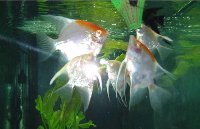 神仙鱼能长多大