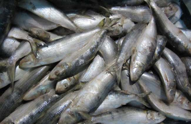 沙丁鱼种类图片大全