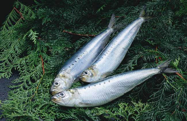 沙丁鱼是什么鱼?