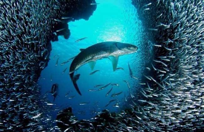 沙丁鱼效应