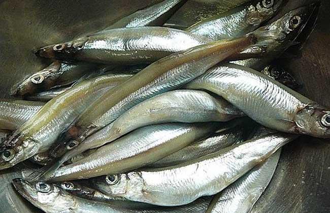 沙丁鱼能人工养殖吗
