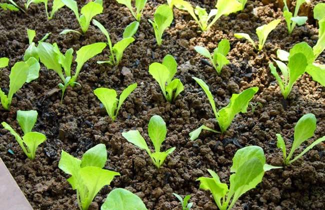 生菜种子怎么种
