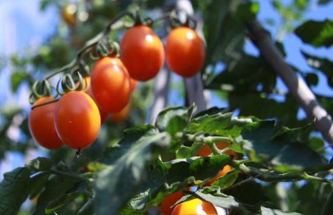 圣女果和西红柿的区别