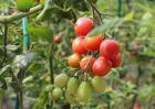 圣女果种植技术