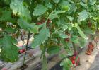 圣女果种植时间