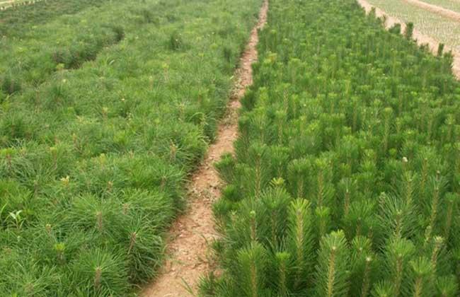 白皮松育苗方法