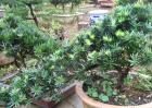 罗汉松和红豆杉的区别