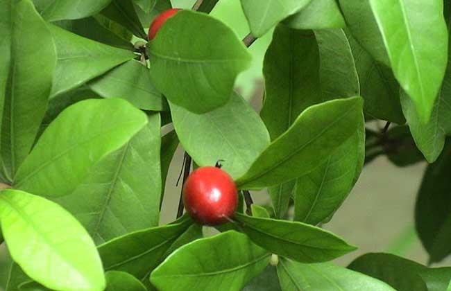 神秘果的种植条件
