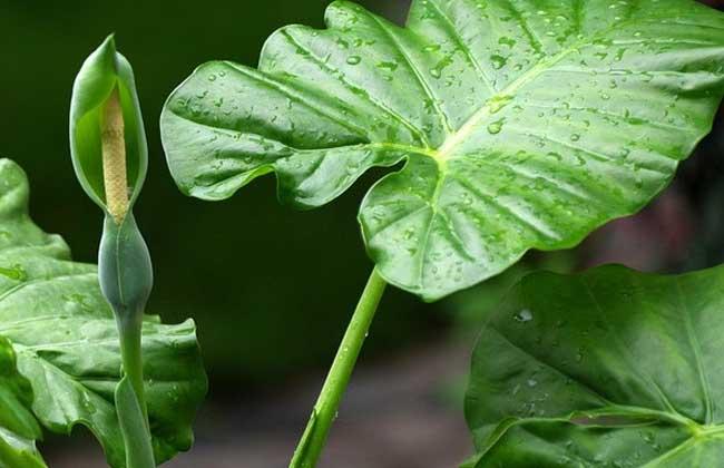 滴水观音是什么植物?