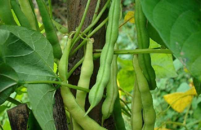 四序豆种类图片大全