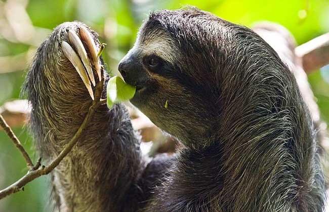 树懒吃什么食物