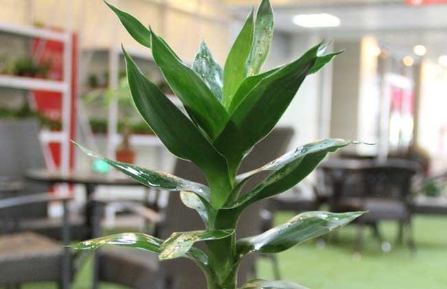 富贵竹冬天怎么养?