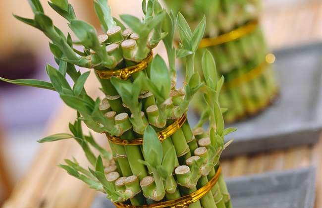 富贵竹冬天怎么养
