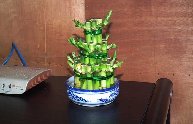 富貴竹能曬太陽嗎