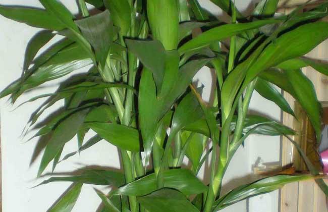 富贵竹能长多高