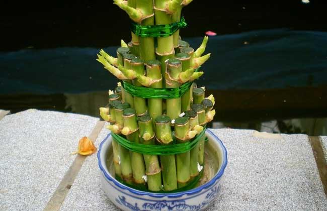 富貴竹能長多高