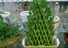 富贵竹扦插繁殖方法