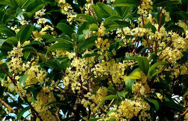 桂花树的特点有哪些?