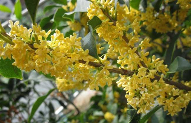 四季桂种植技术