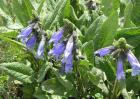 快乐鼠尾草有毒吗?