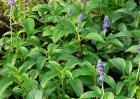 蓝花鼠尾草花期多久?