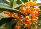 桂花树为什么不开花?