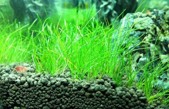 水草能净化水质吗