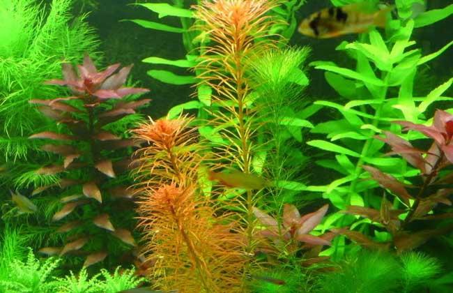 小鱼缸养什么水草?