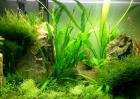 金鱼缸养什么水草好?