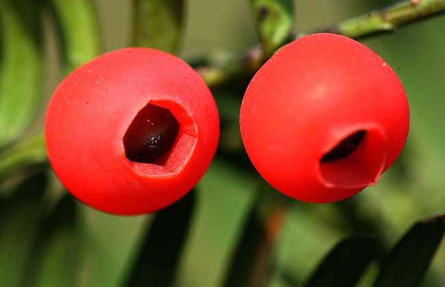 紅豆杉的藥用價值