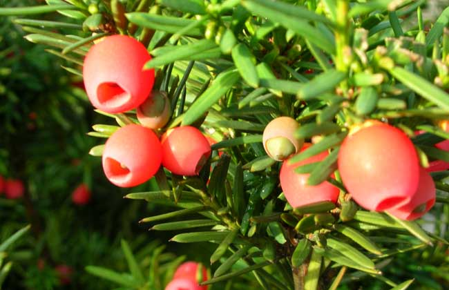 紅豆杉能凈化空氣嗎?