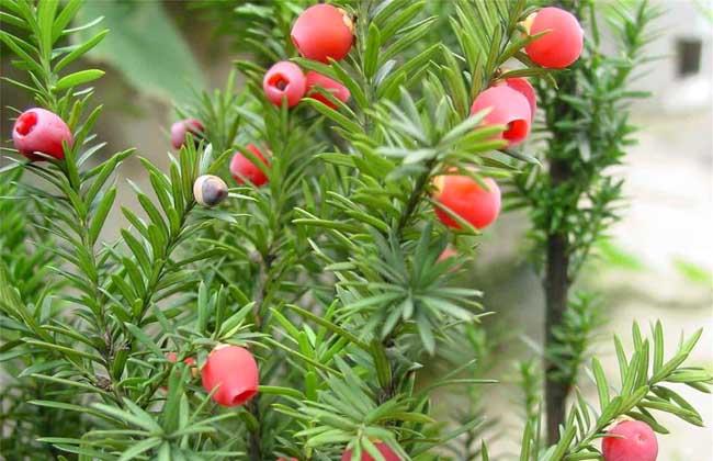 红豆杉能净化空气吗