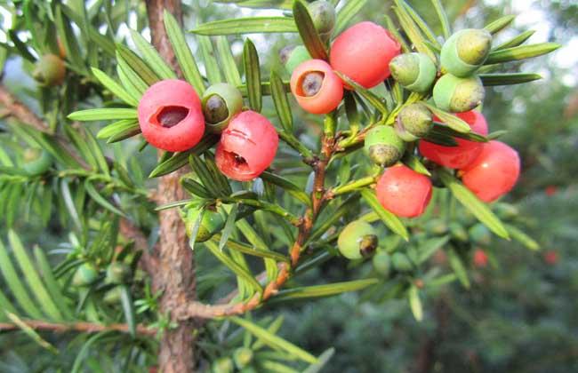 东北红豆杉