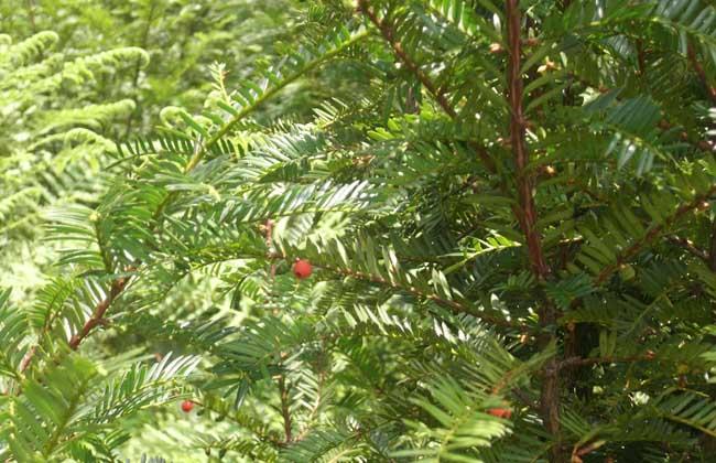 云南红豆杉