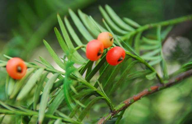 西藏红豆杉