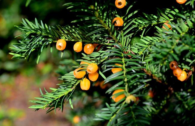 欧洲红豆杉