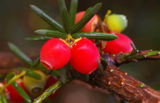 红豆杉是几级保护植物?