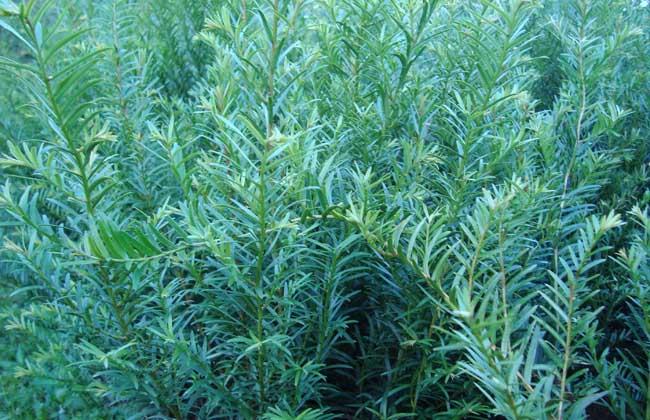 红豆杉是几级保护植物