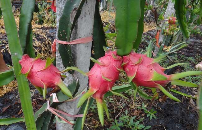 火龙果种植条件