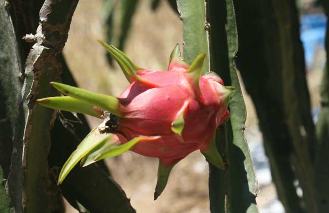 火龙果是什么的果实?