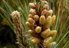 孕妇能吃松花粉吗?