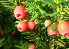 红豆杉能净化空气吗?
