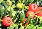 红豆杉种类图片大全