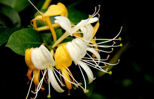 金銀花什么時候開花?