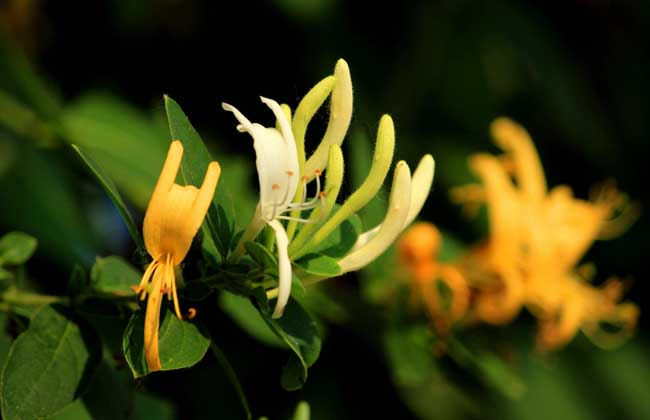 金银花什么时候开花