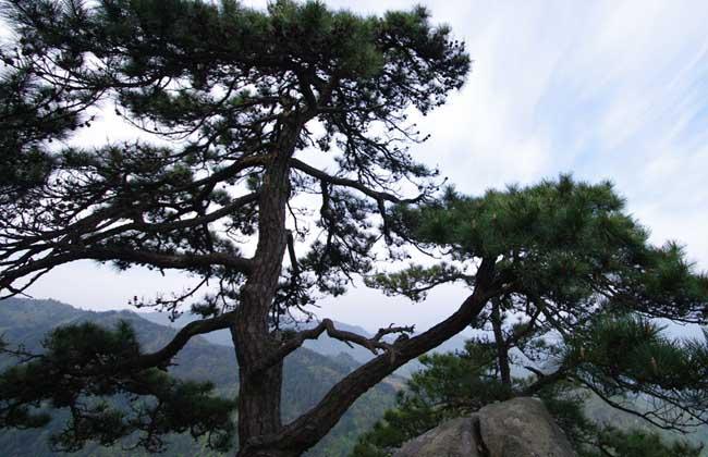 松树有哪些特点