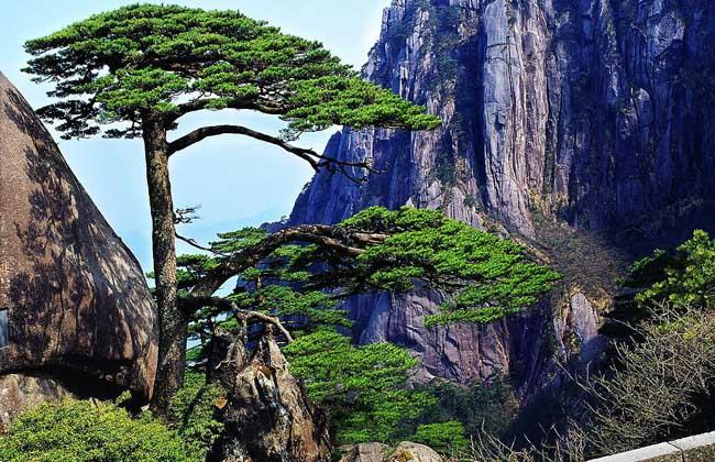 赞美松树的诗句