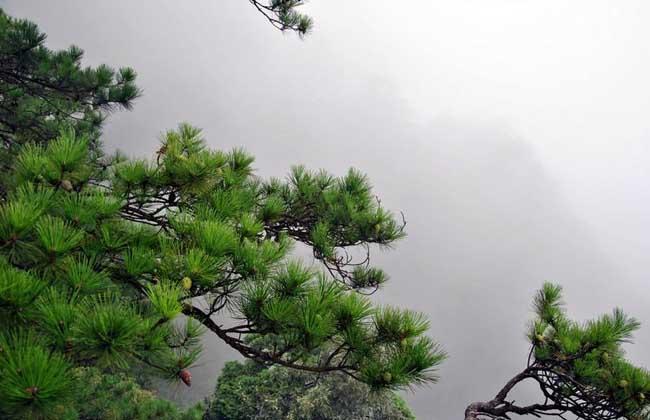 松树的特点